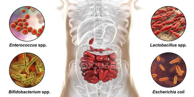 Произведения искусства пищеварительной системы человека и крупным планом бактерий в тонком кишечнике . — стоковое фото