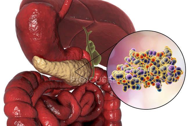 Menschliches Verdauungssystem mit hervorgehobener Bauchspeicheldrüse und molekularem Insulinmodell. — Stockfoto