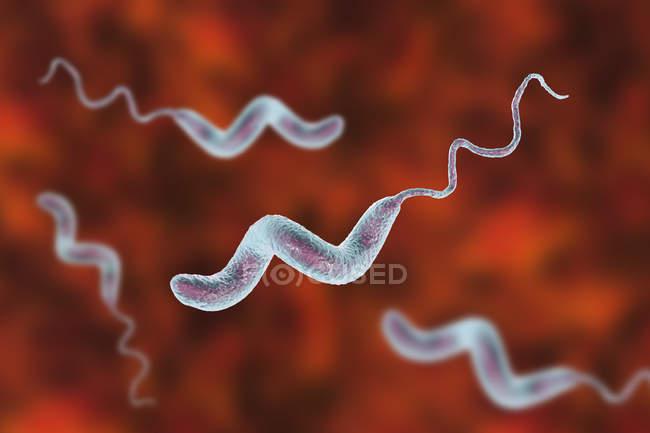 Bactéries Campylobacter jejuni avec flagelles, illustrations numériques . — Photo de stock