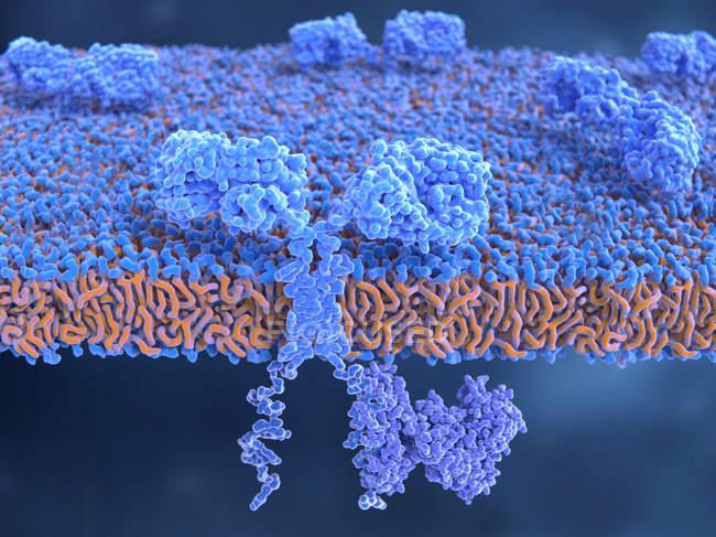 Химерных антигена рецепторов в мембрану клетки мозга, Иллюстрация. — стоковое фото