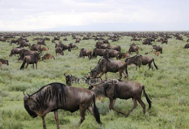 Migración anual de ñus azules en Serengeti, Tanzania . - foto de stock