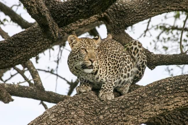 Леопард, сидя в дереве в Национальный парк Серенгети, Танзания. — стоковое фото
