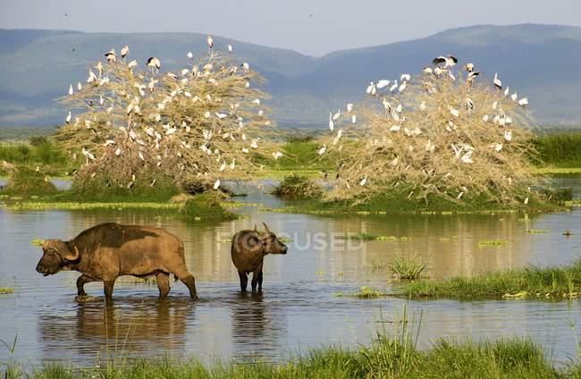 African buffaloes in water hole in Tanzania. — Stock Photo