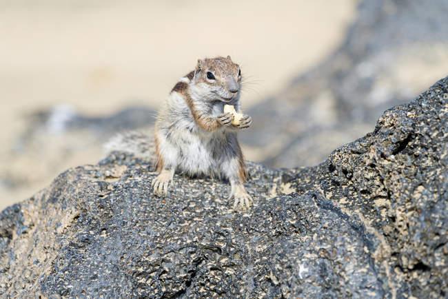 Ardilla de tierra de Barbary comer nuez de cajú en las rocas. - foto de stock