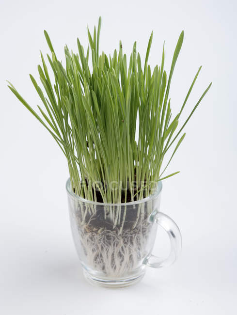 Close-up of green wheatgrass in plastic cup on white background. — Stock Photo