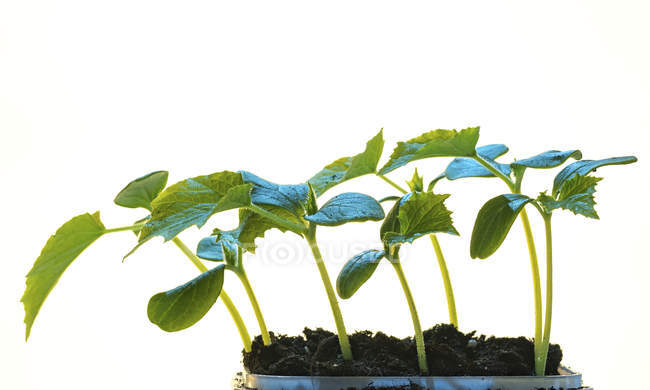 close up of young plant seedlings growing in soil on white