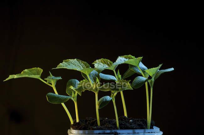 Nahaufnahme der Jungpflanze Sämlinge wachsen im Boden auf schwarzem Hintergrund. — Stockfoto