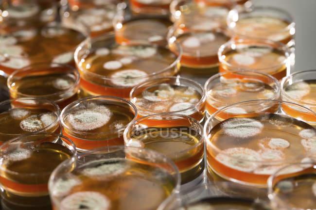 Placas de Agar con colonia de hongos en crecimiento en mesa de laboratorio . - foto de stock