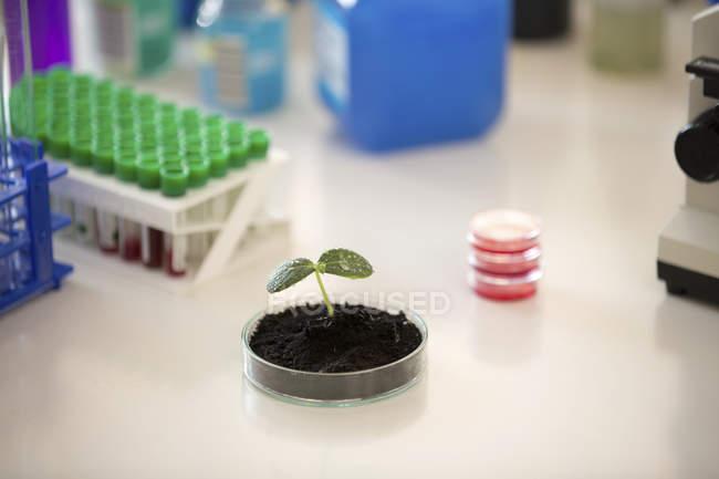 Semis en boîte de Pétri pour la recherche végétale, image conceptuelle . — Photo de stock