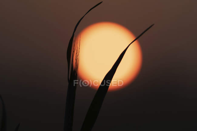 Close-up of grass silhouetted against rising sun. — Stock Photo