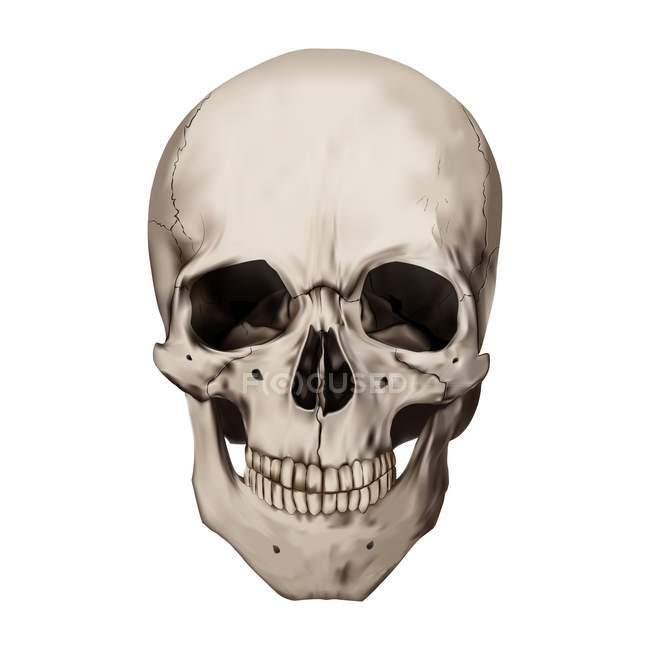 Crânio humano sobre fundo branco, ilustração digital. — Fotografia de Stock