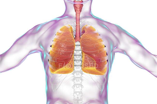 Людського силует з докладні легені, цифрова ілюстрація. — стокове фото
