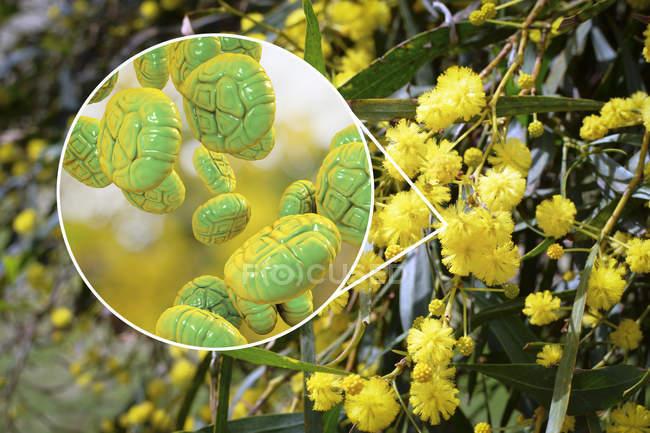 Ilustração close-up de grãos de pólen de flores mimosa e mimosa . — Fotografia de Stock