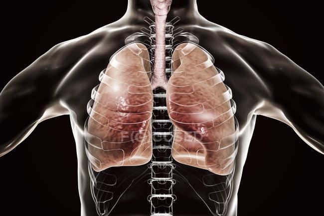Silueta humana con pulmones detallados, ilustración digital . - foto de stock