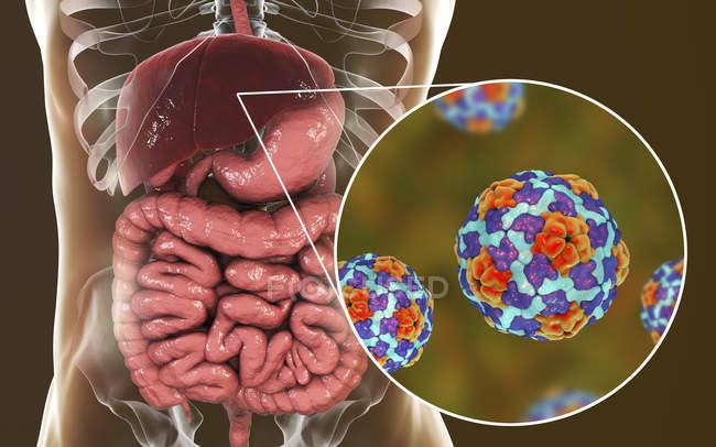 Illustrazione digitale del fegato e primo piano delle particelle virali dell'epatite A . — Foto stock