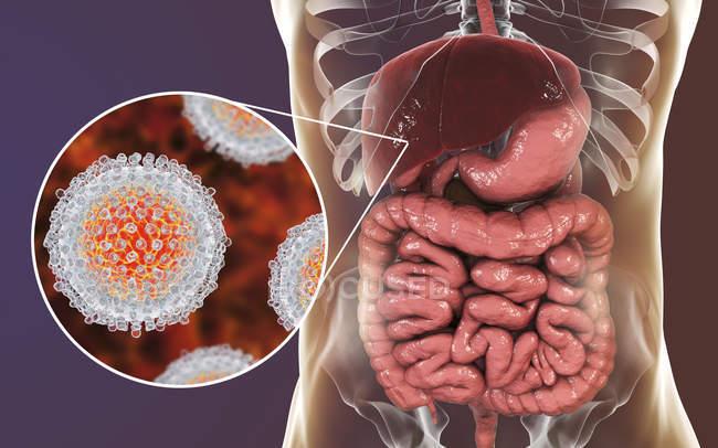 Obra digital de silueta con hígado y primer plano de las partículas del virus de la hepatitis C . - foto de stock