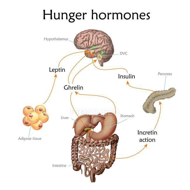 Связи между мозгом и желудка во время аппетит, концептуальные иллюстрации. — стоковое фото