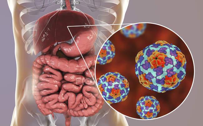 Ilustración digital del hígado y primer plano de las partículas del virus de la hepatitis A . - foto de stock