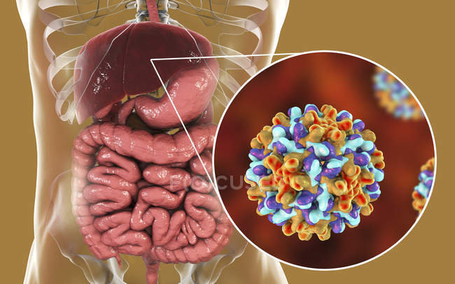 Digital illustration of liver and close-up view of hepatitis B virus. — Stock Photo