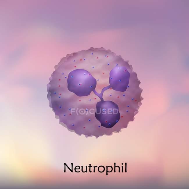 Glóbulos blancos neutrófilos, ilustración digital . - foto de stock