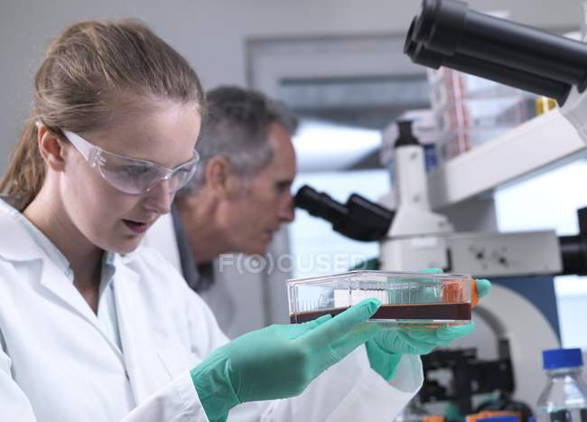 Researcher handling stem cell cultures in laboratory during research. — Stock Photo