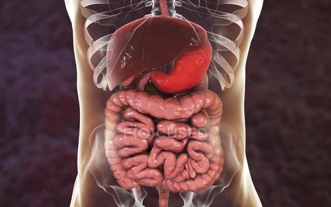 Menschlicher Magen in Körpersilhouette, digitale Illustration. — Stockfoto