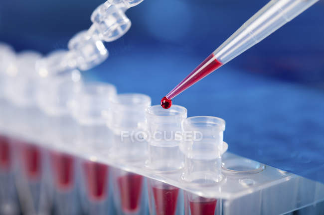 Close-up of pipetting blood sample into microcentrifuge tubes. — Stock Photo