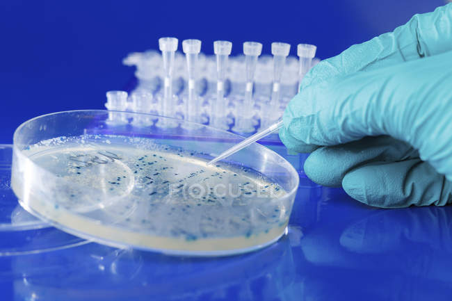 Ученый выборки колонии бактерий, растущих в чашке Петри. — стоковое фото