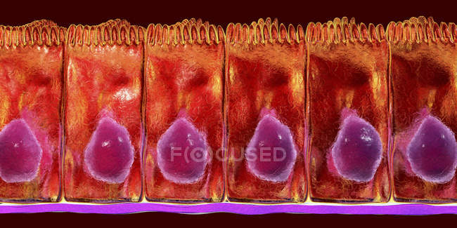 Simple columnar epithelium, digital illustration. — Stock Photo