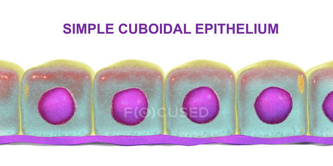 Simple cuboidal epithelium, digital illustration. — Stock Photo