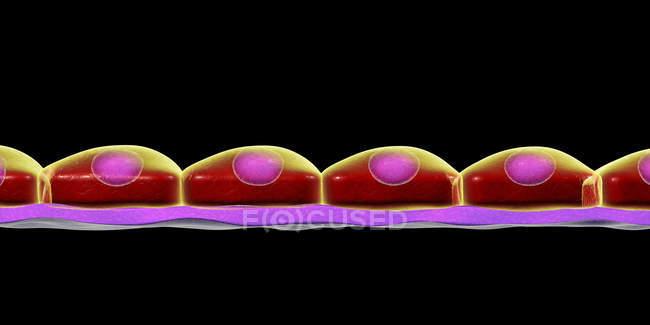 Epitelio escamoso simple, ilustración digital . - foto de stock