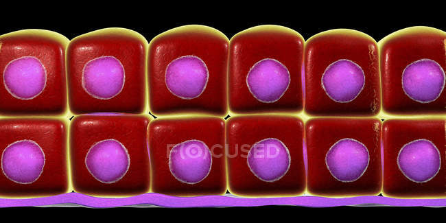 Stratified cuboidal epithelium, digital illustration. — Stock Photo