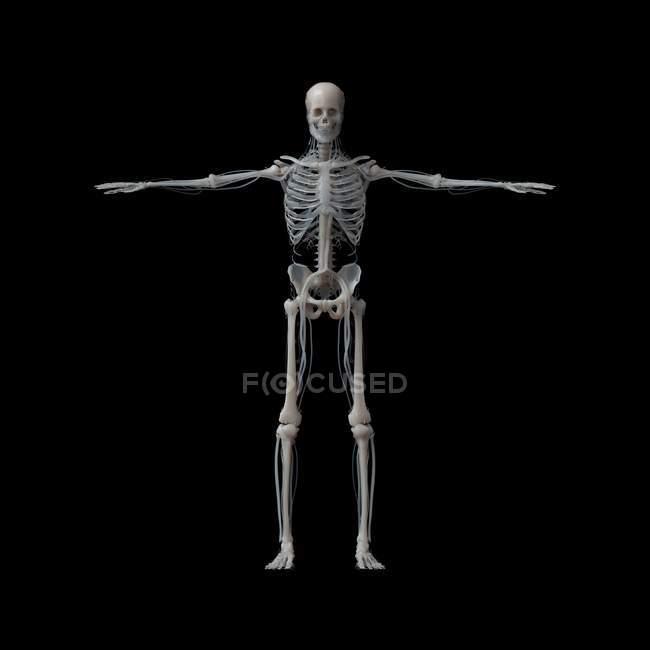 Modelo de esqueleto sobre fondo negro, Ilustración. - foto de stock