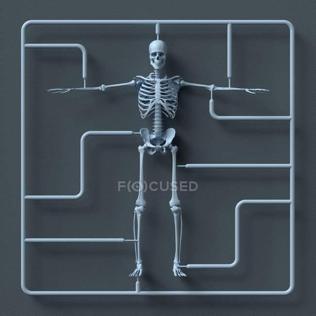 Kit de modelo de esqueleto sobre fondo gris, la ilustración. - foto de stock