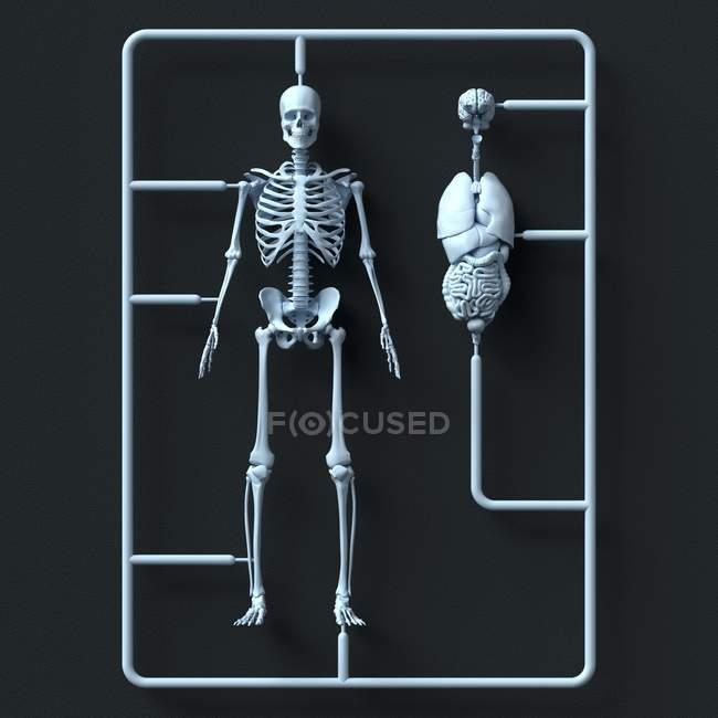 Kit de esqueleto y órganos modelo sobre fondo negro, Ilustración. - foto de stock