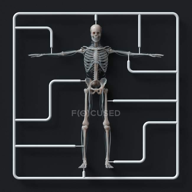 Kit de modelo de esqueleto sobre fondo negro, Ilustración. - foto de stock