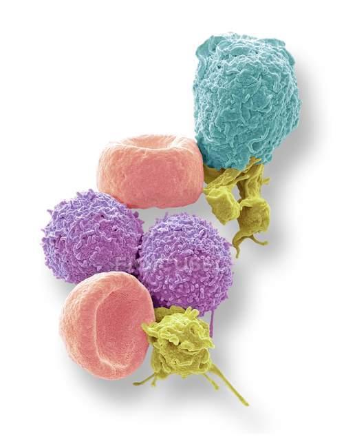 Micrógrafo electrónico de barrido coloreado de glóbulos rojos humanos, glóbulos blancos y plaquetas . - foto de stock