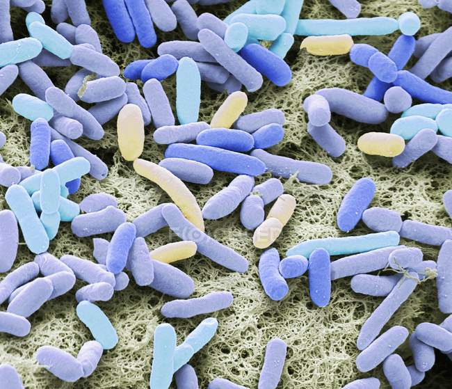 Colored scanning electron micrograph of rod-shaped Gram-negative bacteria Escherichia coli. — Stock Photo