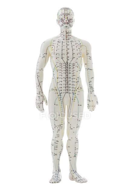 Modelo de acupuntura con acupuntura sobre fondo blanco . - foto de stock