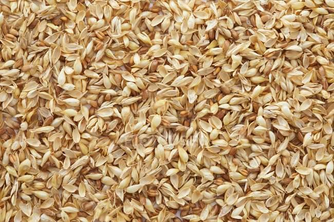 Nahaufnahme des goldenen Körner von Weizen, full-frame. — Stockfoto