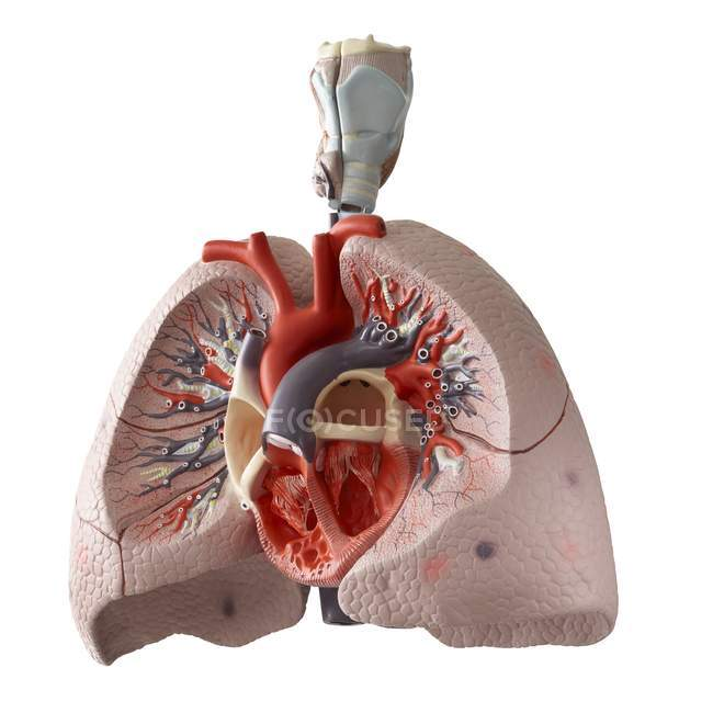 Анатомическая модель внутренних органов с сечением на белом фоне. — стоковое фото