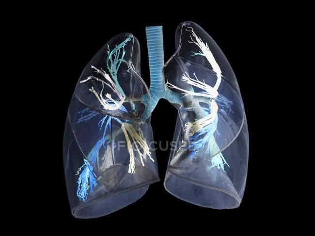 Digital three dimensional illustration of human lungs. — Stock Photo