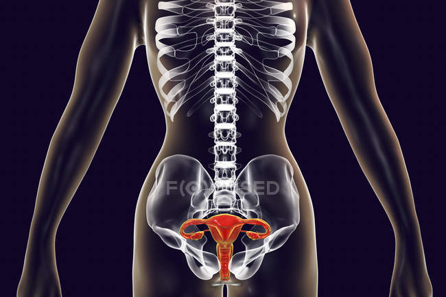 Female silhouette with highlighted reproductive system, digital illustration. — Stock Photo