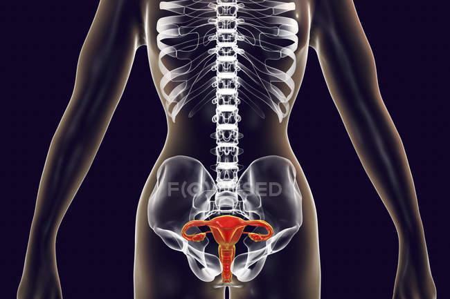 Женский силуэт с выделенной репродуктивной системы, цифровые иллюстрации. — стоковое фото
