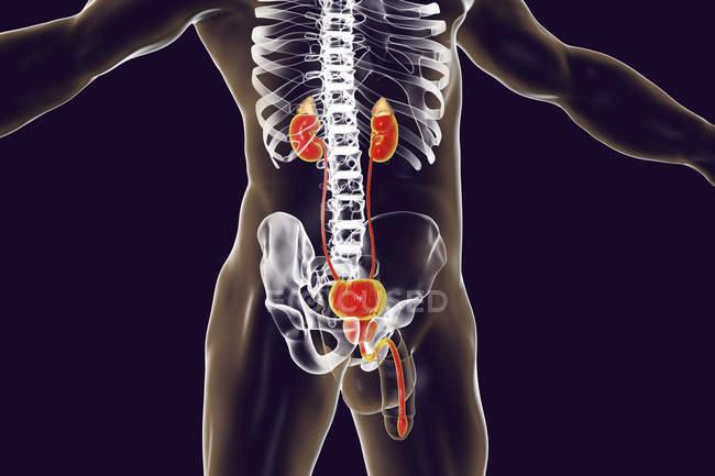 Цифровий ілюстрація чоловічий силует з Видільна система, включаючи надниркова залоза, нирки, сечовий міхур, сечоводу, передміхурової залози і уретри. — стокове фото