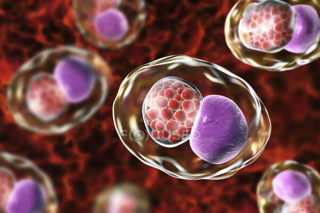 Цифровой рисунок, показывающий включение в состав группы хламидиоза ретикуляционных тел бактерий Chlamydia trachomatis . — стоковое фото