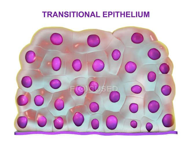 Transitional epithelium in urinary bladder, digital illustration. — Stock Photo