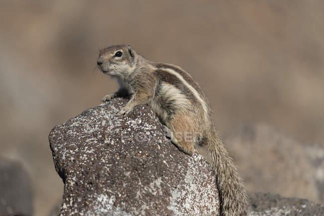 Scoiattolo a terra Barbary seduto su roccia in ambiente naturale di Fuerteventura, Isole Canarie — Foto stock