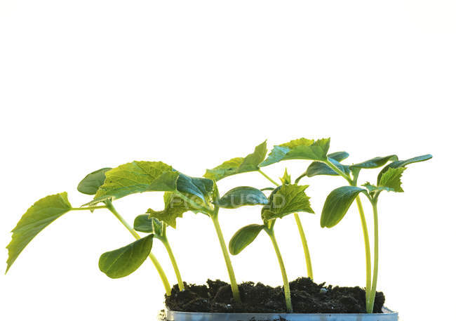 Close-up of green plant seedlings in soil isolated on white background. — Stock Photo