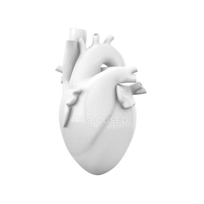Modelo de corazón anatómico blanco vacío Ilustración 3D aislada sobre fondo blanco . - foto de stock